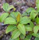 Hochstamm Weinrote Zwerg Weide 60-80cm - Salix moupinensis