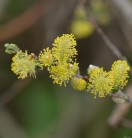 Hochstamm Iona Zwerghängeweide 60-80cm - Salix repens