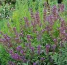 Echter Salbei - großer Topf - Salvia officinalis