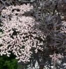 Hochstamm Schwarzer Holunder Black Lace® 100-125cm - Sambucus nigra