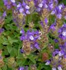 Alpen Helmkraut - Scutellaria alpina Sapphire