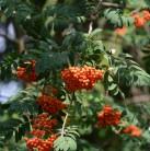 Sommergrüne Eberesche 100-125cm - Sorbus insignis