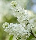 Hochstamm Edelflieder Beauty of Moscow 80-100cm - Syringa vulgaris