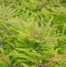 Zwerg Sumpfzypresse Gee Wizz 50-60cm - Taxodium distichum