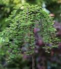 Hochstamm Hängesumpfzypresse 80-100cm - Taxodium distichum