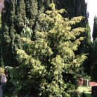 Goldgrüne Adlerschwingeneibe 30-40cm - Taxus baccata