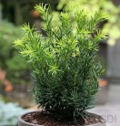 Japanische Zwergeibe Lescow 15-20cm - Taxus cuspidata