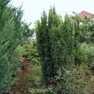 Schlanke Säulen Eibe Litfaß 40-50cm - Taxus baccata