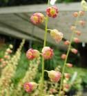 Falsche Allraunwurzel Forest Frost - Tellima grandiflora