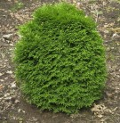 Lebensbaum Little Giant 30-40cm - Thuja occidentalis