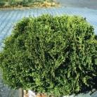 Zwerg Lebensbaum Recurva Nana 25-30cm - Thuja occidentalis