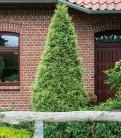 Goldspitzen Lebensbaum 100-125cm - Thuja plicata