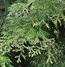 Lebensbaum Martin 100-125cm - Thuja plicata