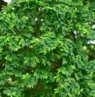 Zwergulme Jacqueline Hillier 60-80cm - Ulmus hollandica
