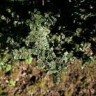 Zwerg Ulme Seiju 20-25cm - Ulmus parvifolia