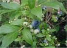 Hochstamm Heidelbeere Herma 60-80cm - Vaccinium corymbosum