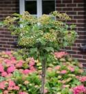 Hochstamm Zwerg Schneeball 80-100cm - Viburnum opulus
