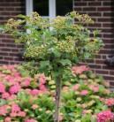 Hochstamm Echter Schneeball 80-100cm - Viburnum opulus Roseum