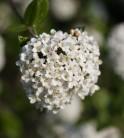 Hochstamm Schneeball Schroeders Nadine 60-80cm - Viburnum plicatum