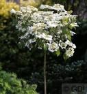 Hochstamm Gefüllter Schneeball Watanabe 80-100cm - Viburnum plicatum