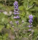 Mönchspfeffer Blue Puffball® 40-60cm - Vitex agnus castus