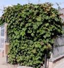 Schmuckwein 80-100cm - Vitis amurensis
