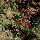 Weigelie All Summer Red 25-30cm - Weigela florida