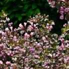Rotblättrige Zwerg Weigelie Nana Purpurea 30-40cm - Weigela florida