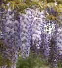 Chinesischer Blauregen 60-80cm - Wisteria sinensis