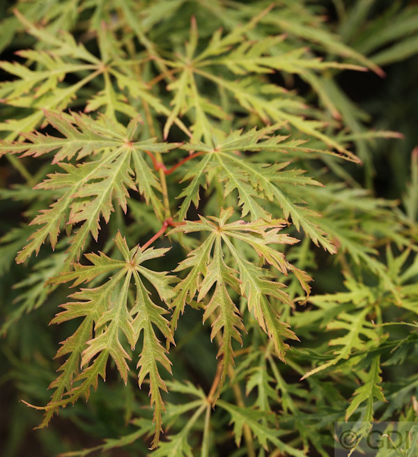 gr ner schlitz ahorn acer palmatum dissectum. Black Bedroom Furniture Sets. Home Design Ideas