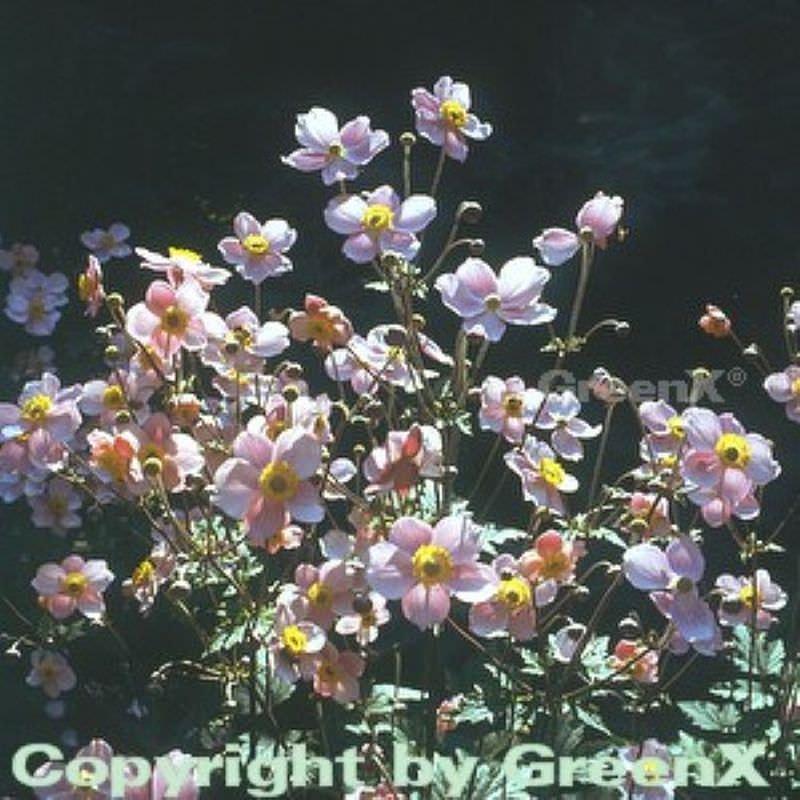 Japanische Herbstanemone Septembercharm Anemone Hupehensis
