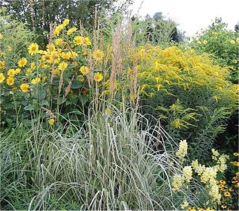reitgras overdam gro er topf calamagrostis acutiflora kaufen bei. Black Bedroom Furniture Sets. Home Design Ideas
