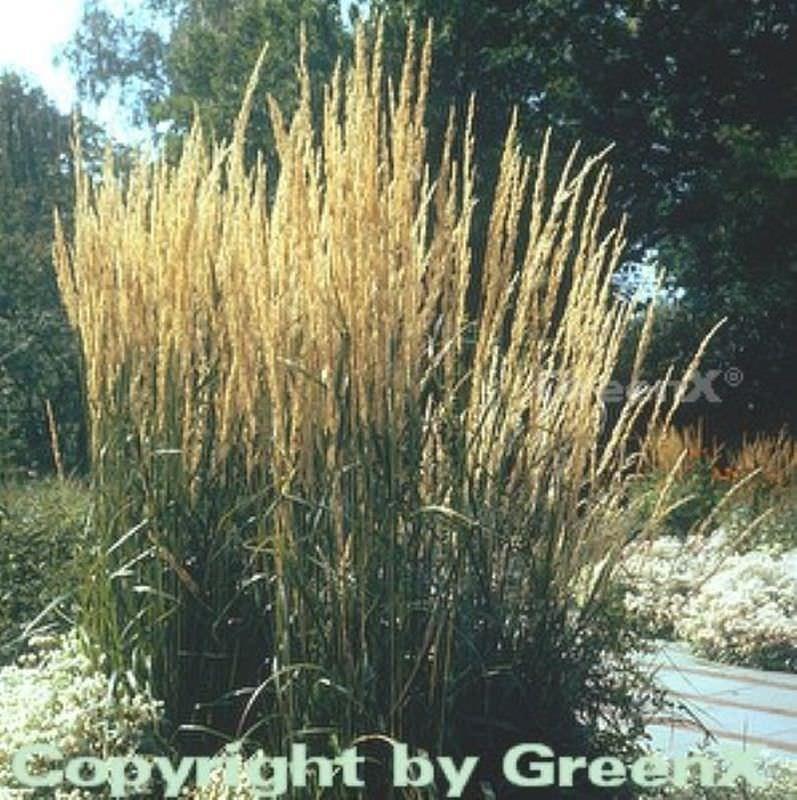 reitgras karl f rster calamagrostis acutiflora karl f rster. Black Bedroom Furniture Sets. Home Design Ideas