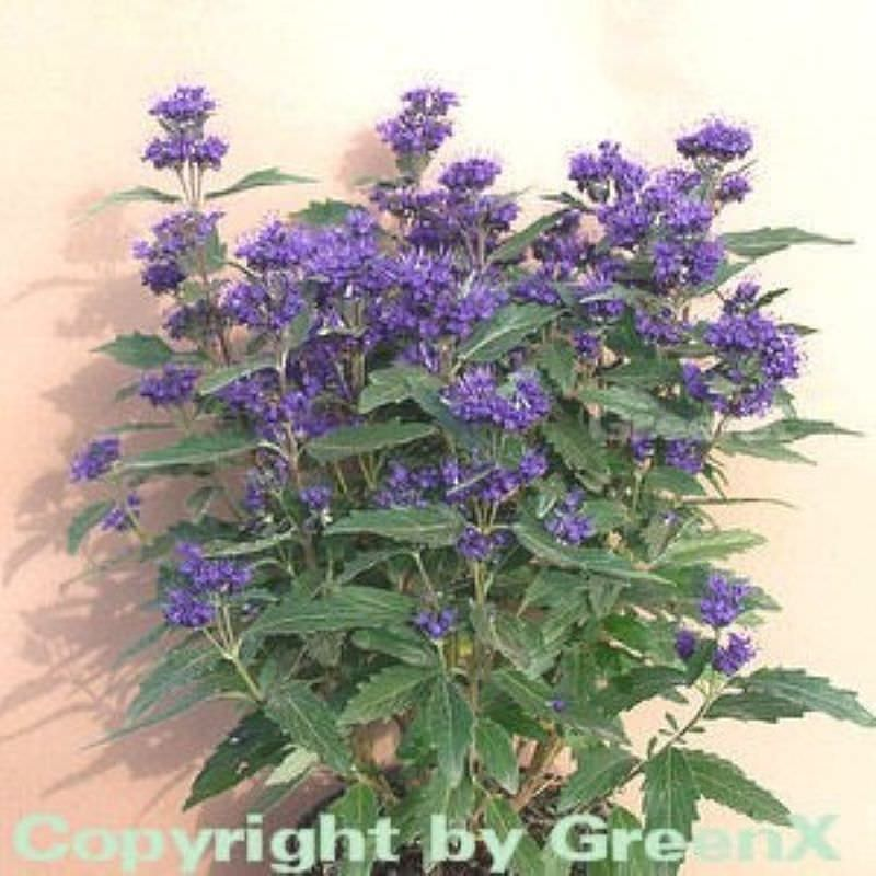 bartblume kew blue caryopteris clandonensis kew blue. Black Bedroom Furniture Sets. Home Design Ideas