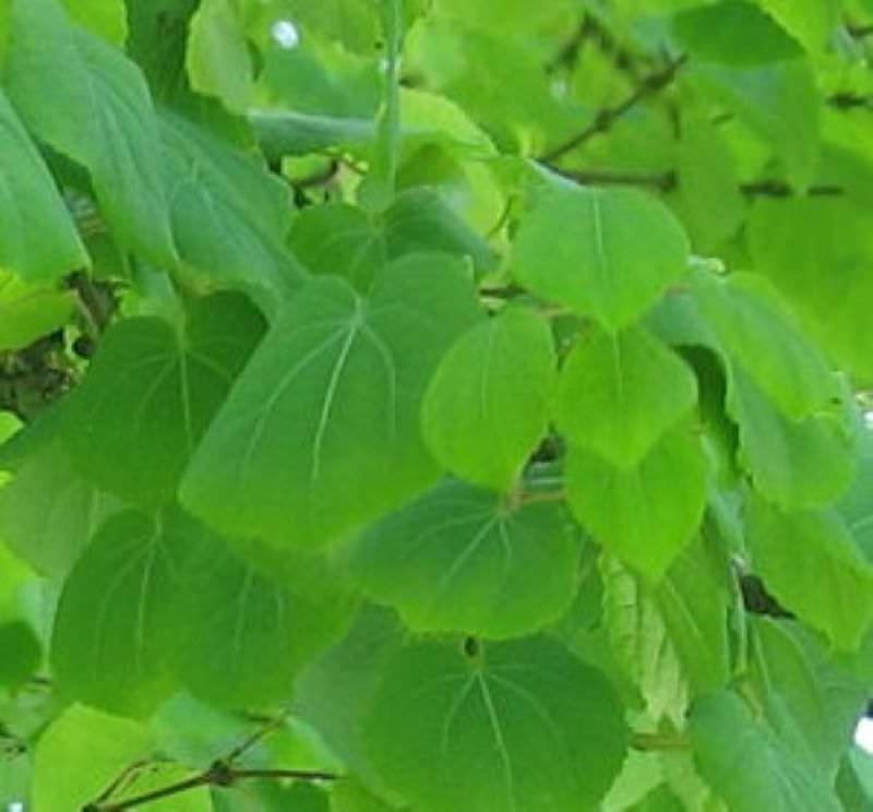 Gro bl ttriger lebkuchenbaum 80 100cm cercidiphyllum japonicum magnificum ebay - Lebkuchenbaum kaufen ...