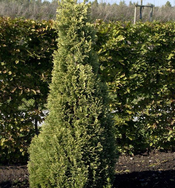 Garten Zypresse Sunny Smile 30-40cm Chamaecyparis lawsoniana