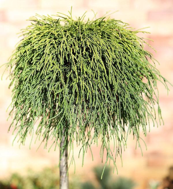 Hochstamm Gelbe Fadenzypresse Sungold 40-60cm Chamaecyparis pisifera