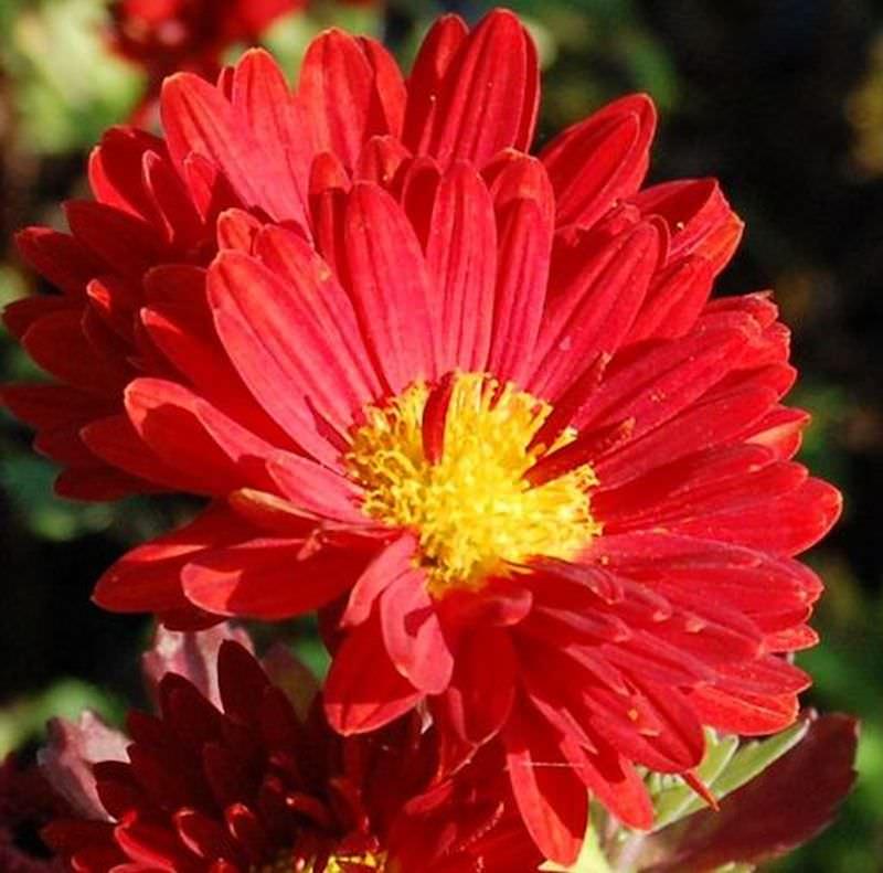 Chrysanthemum hortorum Winteraster Konrad