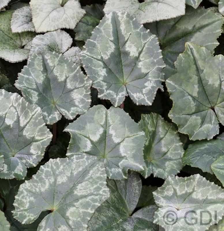 herbst alpenveilchen amaze me cyclamen hederifolium amaze me. Black Bedroom Furniture Sets. Home Design Ideas