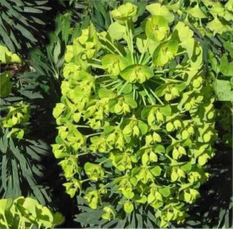 palisaden wolfsmilch humpty dumpty euphorbia characias. Black Bedroom Furniture Sets. Home Design Ideas