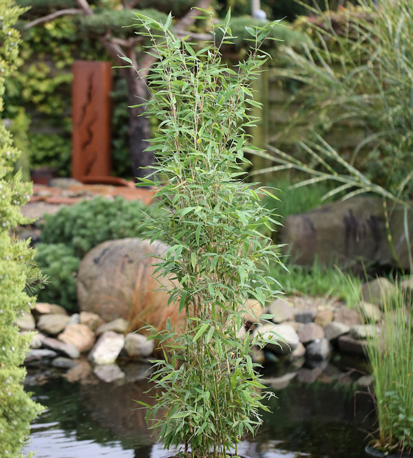 Saulen Bambus Maasai Fargesia Murielae Maasai