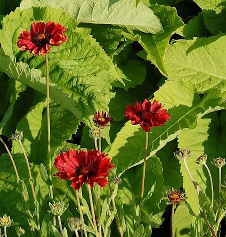 kokardenblume bright red gro er topf gaillardia gallo kaufen bei. Black Bedroom Furniture Sets. Home Design Ideas