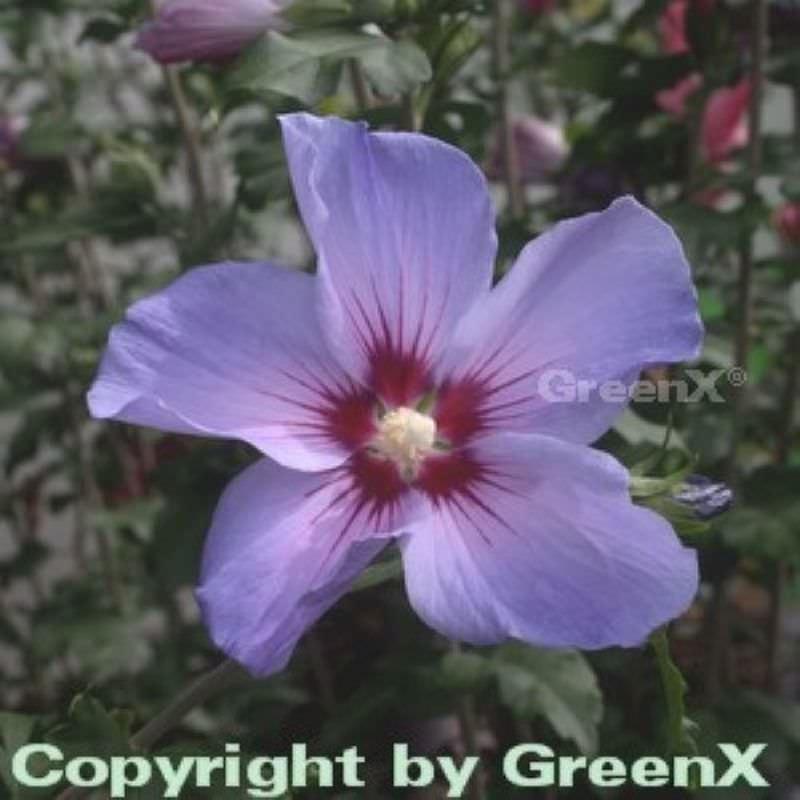 rosen eibisch blue bird hibiscus syriacus blue bird. Black Bedroom Furniture Sets. Home Design Ideas