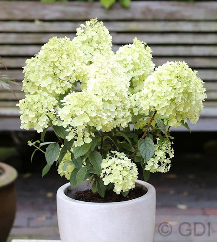 rispenhortensie diamound bobo hydrangea paniculata bobo. Black Bedroom Furniture Sets. Home Design Ideas