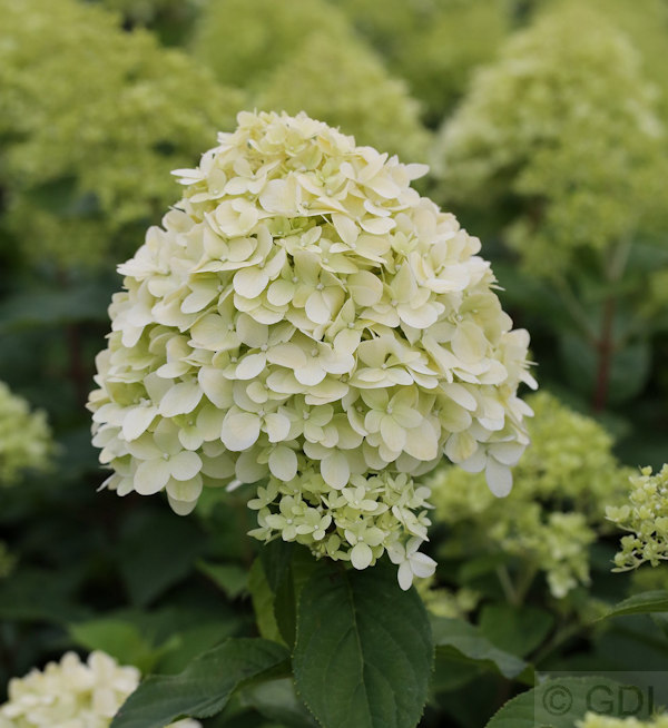 rispenhortensie limelight hydrangea paniculata limelight. Black Bedroom Furniture Sets. Home Design Ideas
