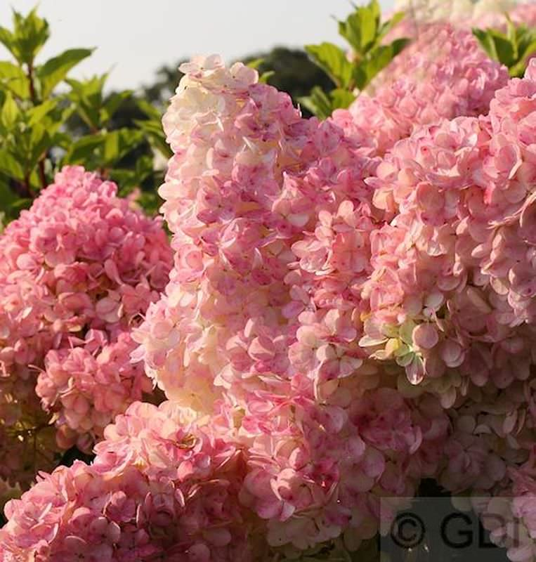 hochstamm hydrangea paniculata sunday fraise. Black Bedroom Furniture Sets. Home Design Ideas