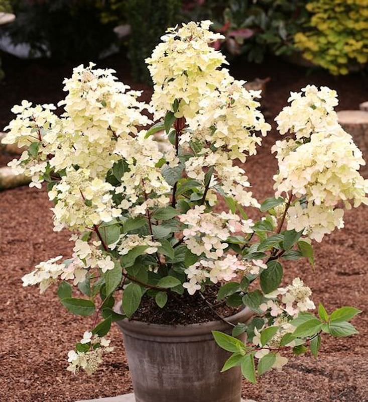 hydrangea paniculata wims red rispenhortensie wims red. Black Bedroom Furniture Sets. Home Design Ideas