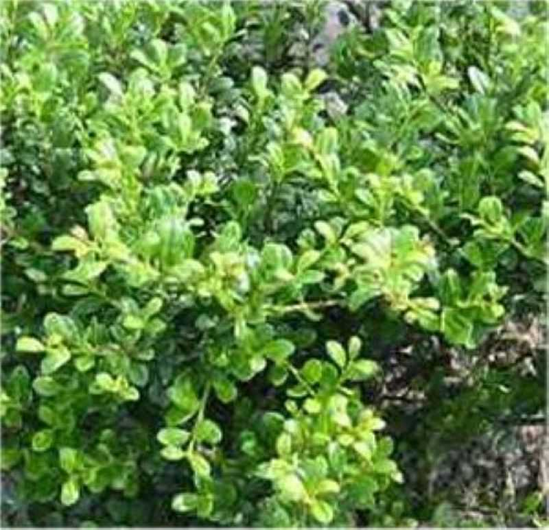 bonsai japanische stechpalme ilex glorie gem 80 100cm ilex crenata kaufen bei. Black Bedroom Furniture Sets. Home Design Ideas