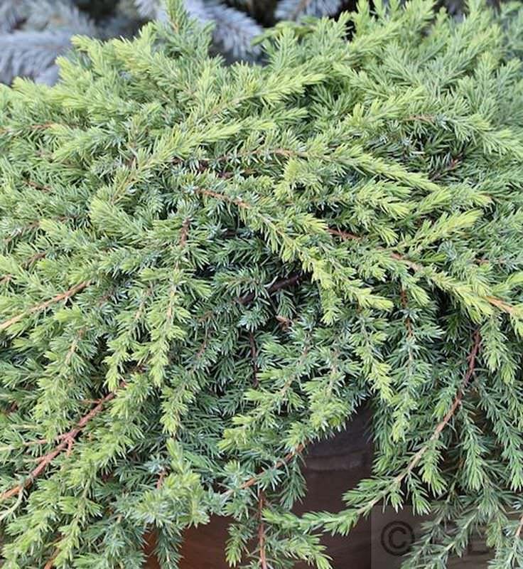 hochstamm gr ner kriechwacholder green mantle 40 60cm juniperus squamata kaufen bei. Black Bedroom Furniture Sets. Home Design Ideas