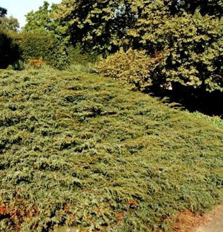 kriechender heidewacholder hornibrook 40 50cm juniperus communis hornibrookii kaufen bei. Black Bedroom Furniture Sets. Home Design Ideas